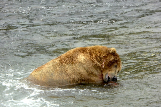 bear in water biting salmon with side of his mouth