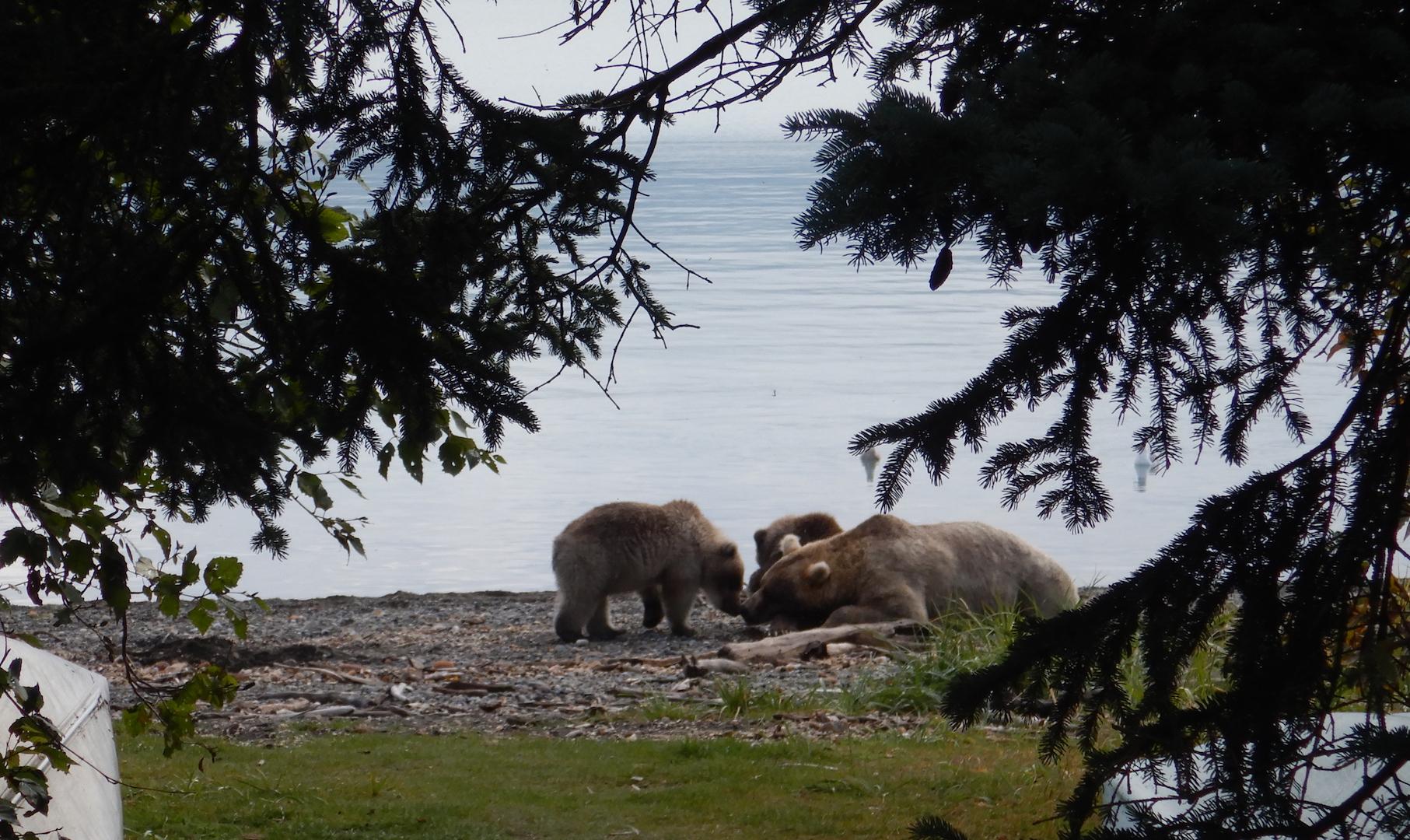 bear family resting on beach