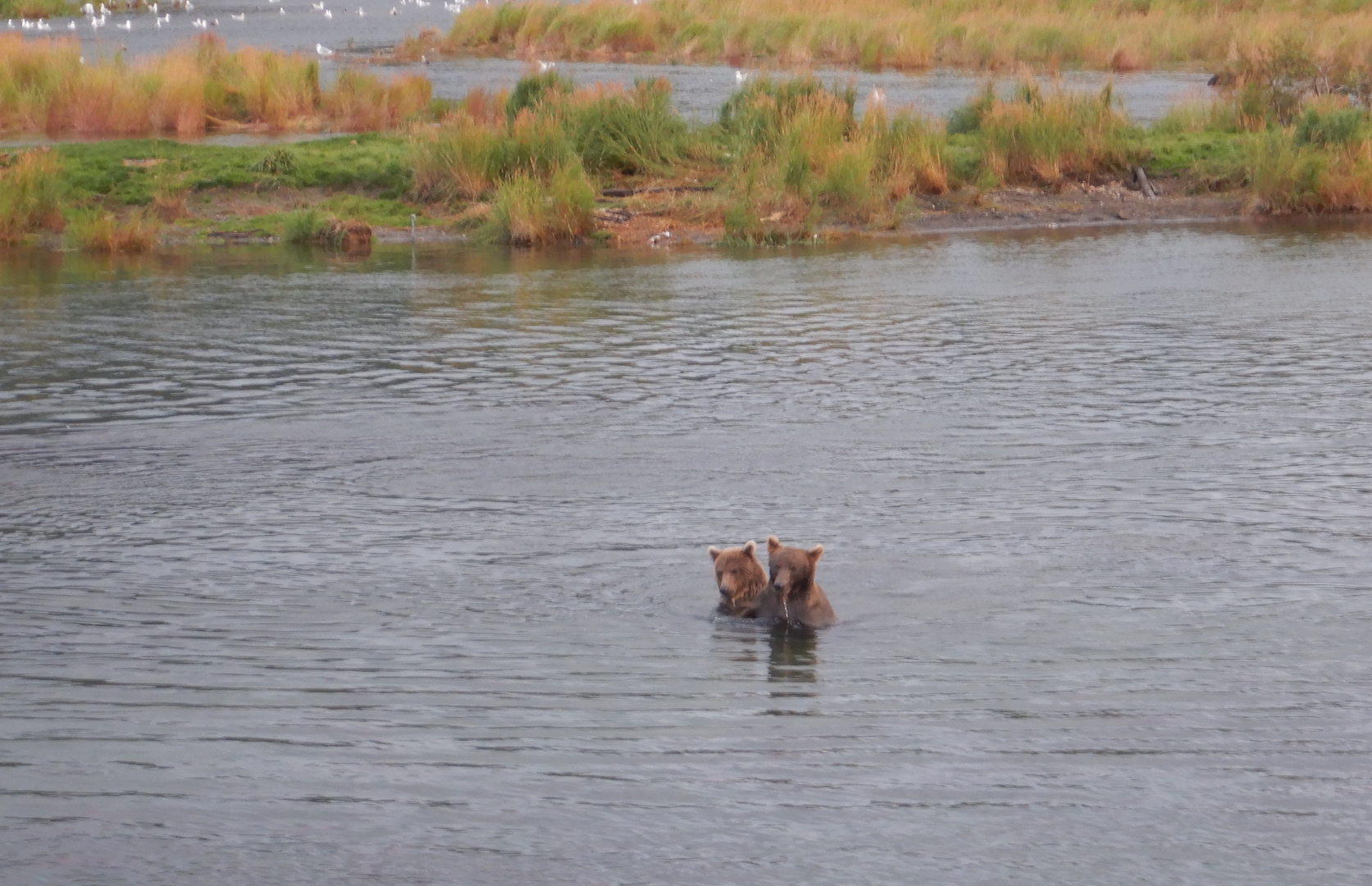 two bears in water