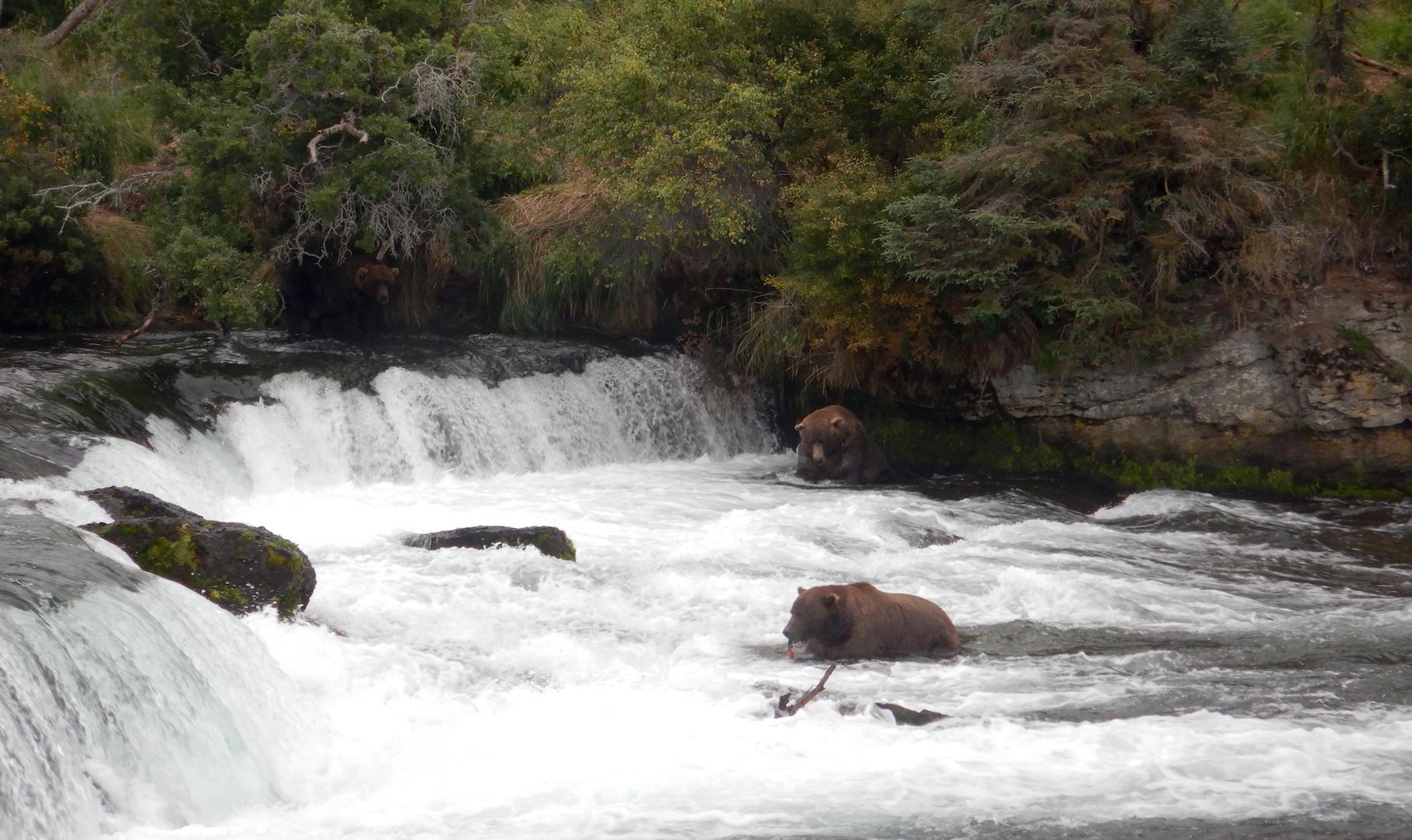 bears fishing at waterfall