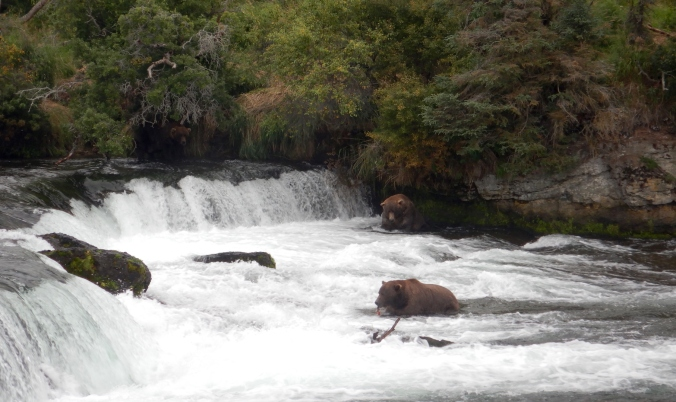 bears fishing at waterfall