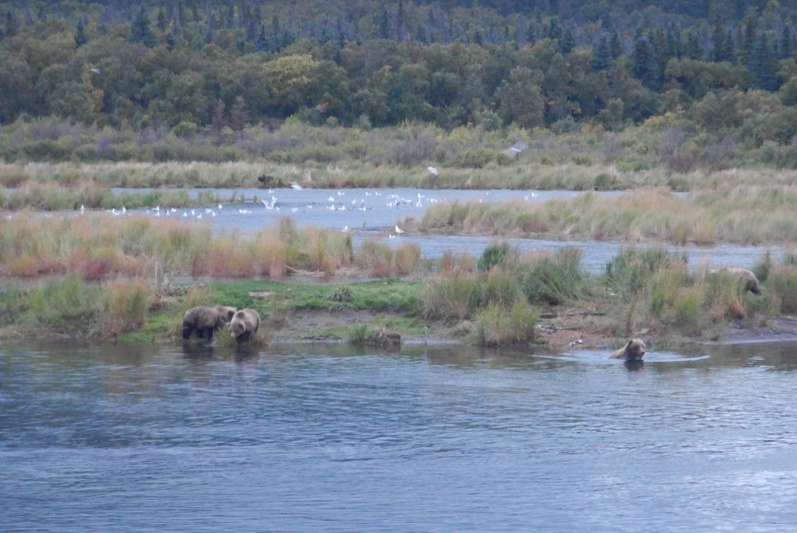 bears in water near grassy marsh