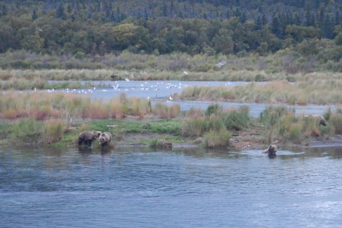 bears in water near grassy marsh