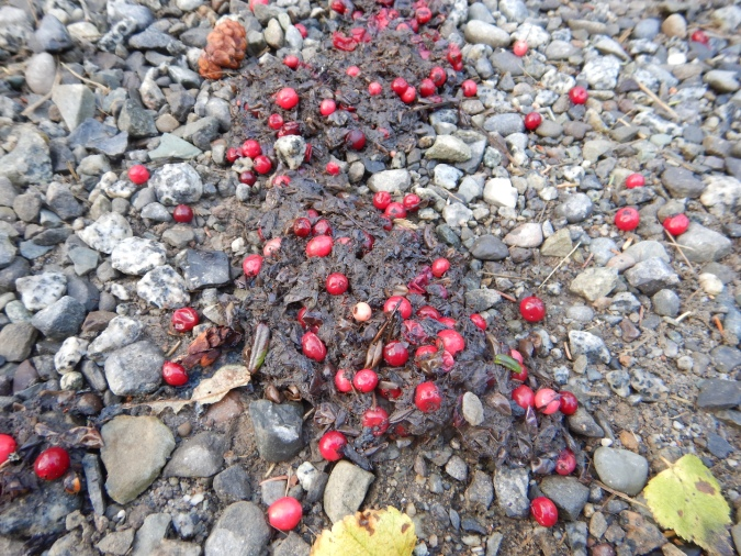 red berries in bear scat