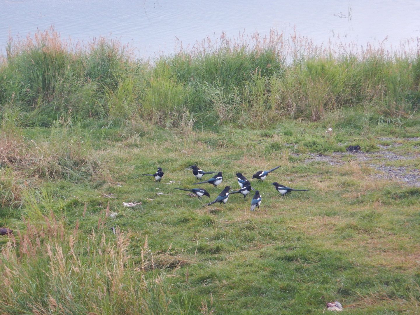 group of 11 black and white magpies in grass