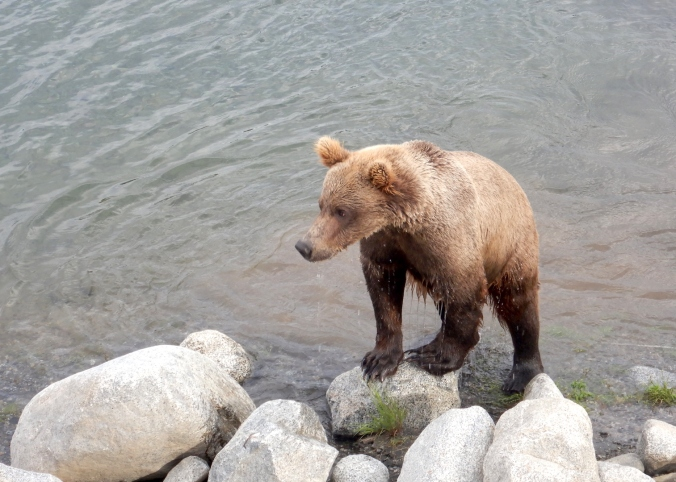 brown bear standing with front paws on boulder