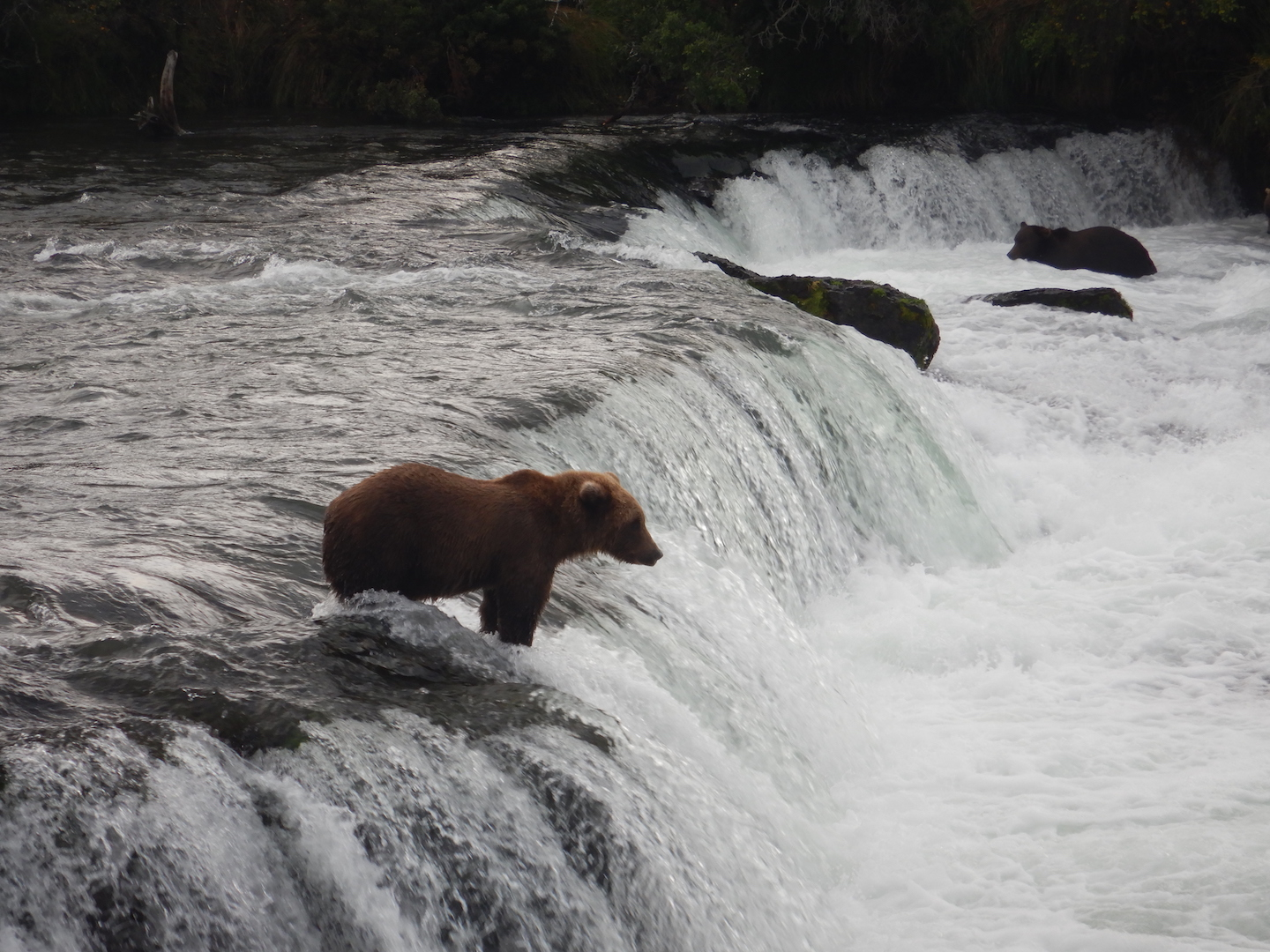 bear standing on edge of waterfall