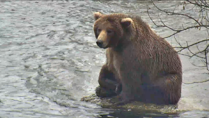 bear sitting on rock in river