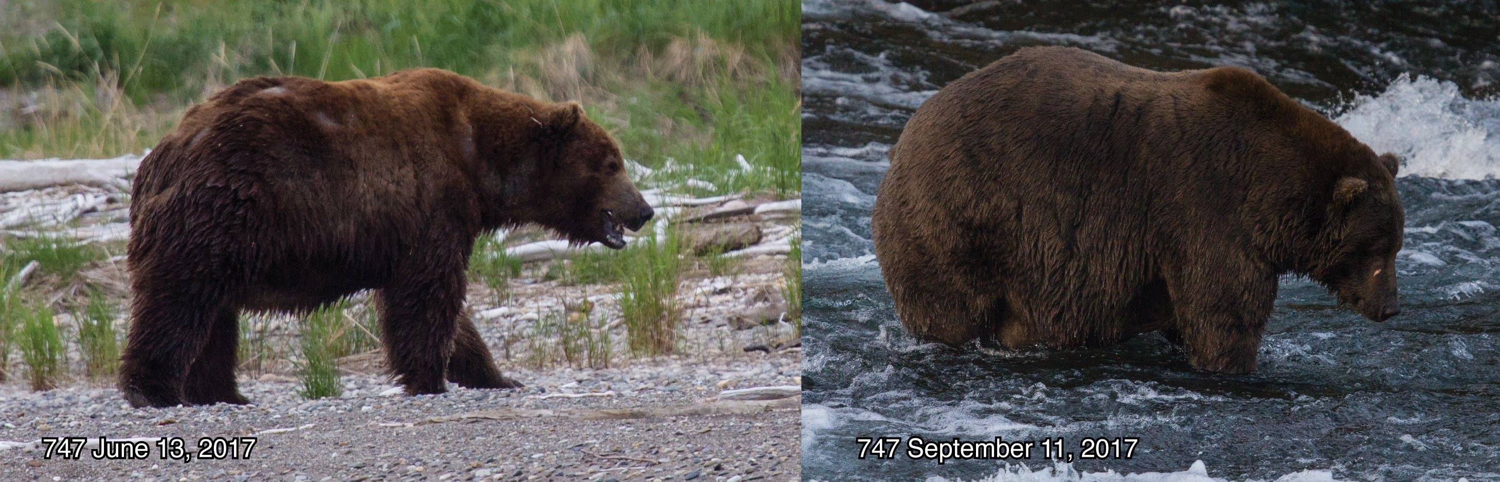 """Side-by-side comparison of bear in late spring and late summer. Text reads, """"747 June 13, 2107"""" """"747 September 11, 2017"""""""