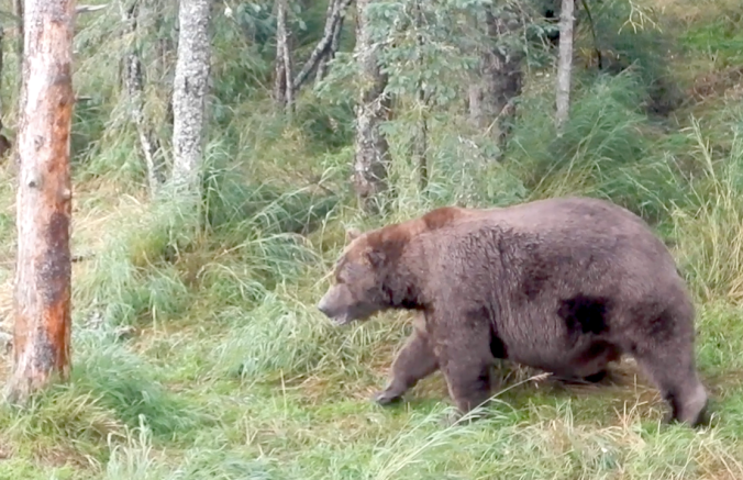 Fat bear walking in grass