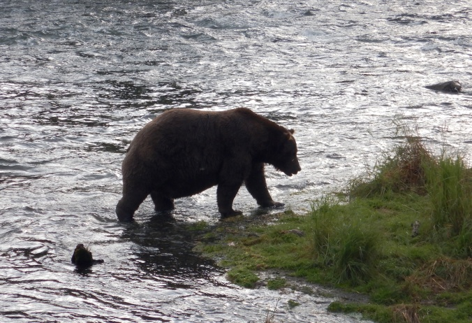 fat bear walking in shallow water near grass