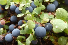 blueberries and blueberry leaves