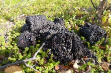 dark purple bear scat on ground-hugging shrubs