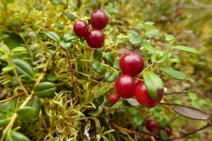 clusters of bright red berries