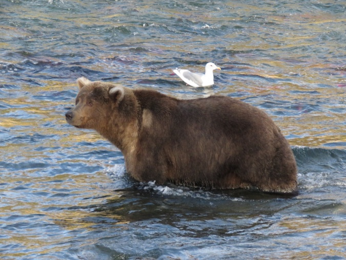 bear standing in water with gull in background