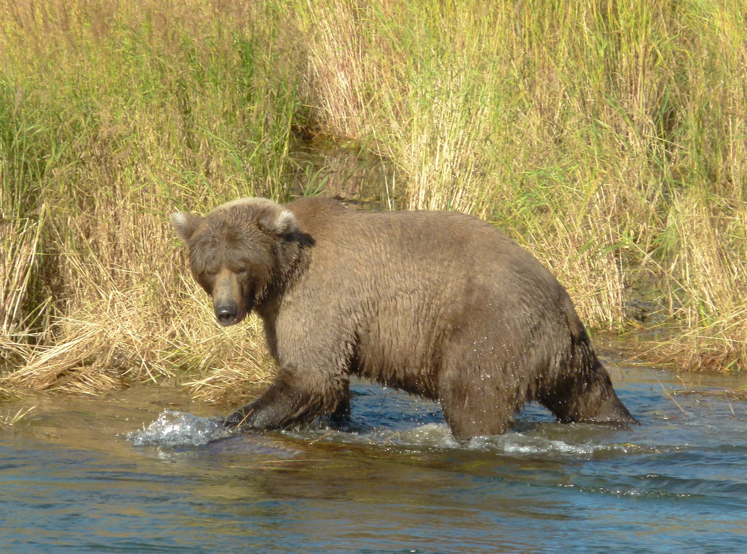 bear walking in water next to grassy bank