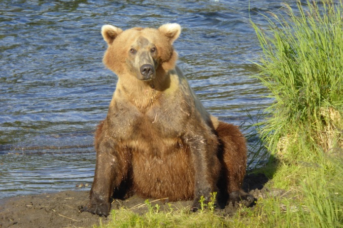 brown bear sitting and looking towards camera