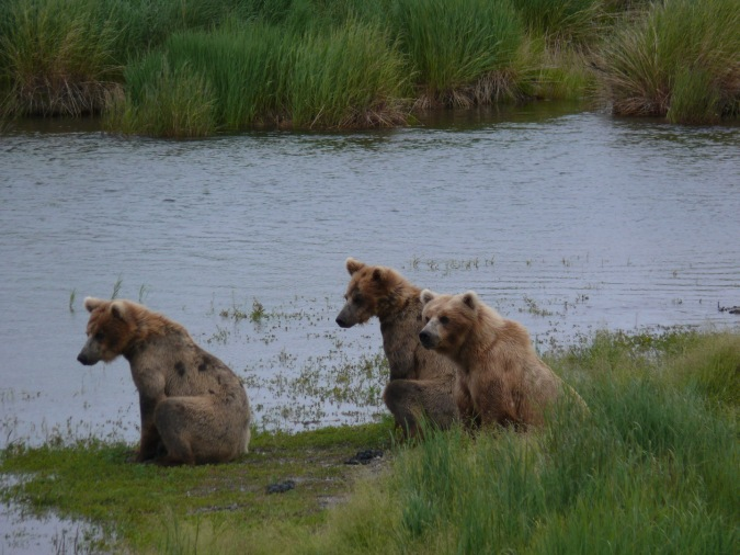 bear family with older cubs sitting on grassy island