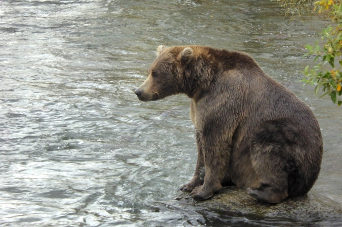 brown bear sitting on rock surrounded by water
