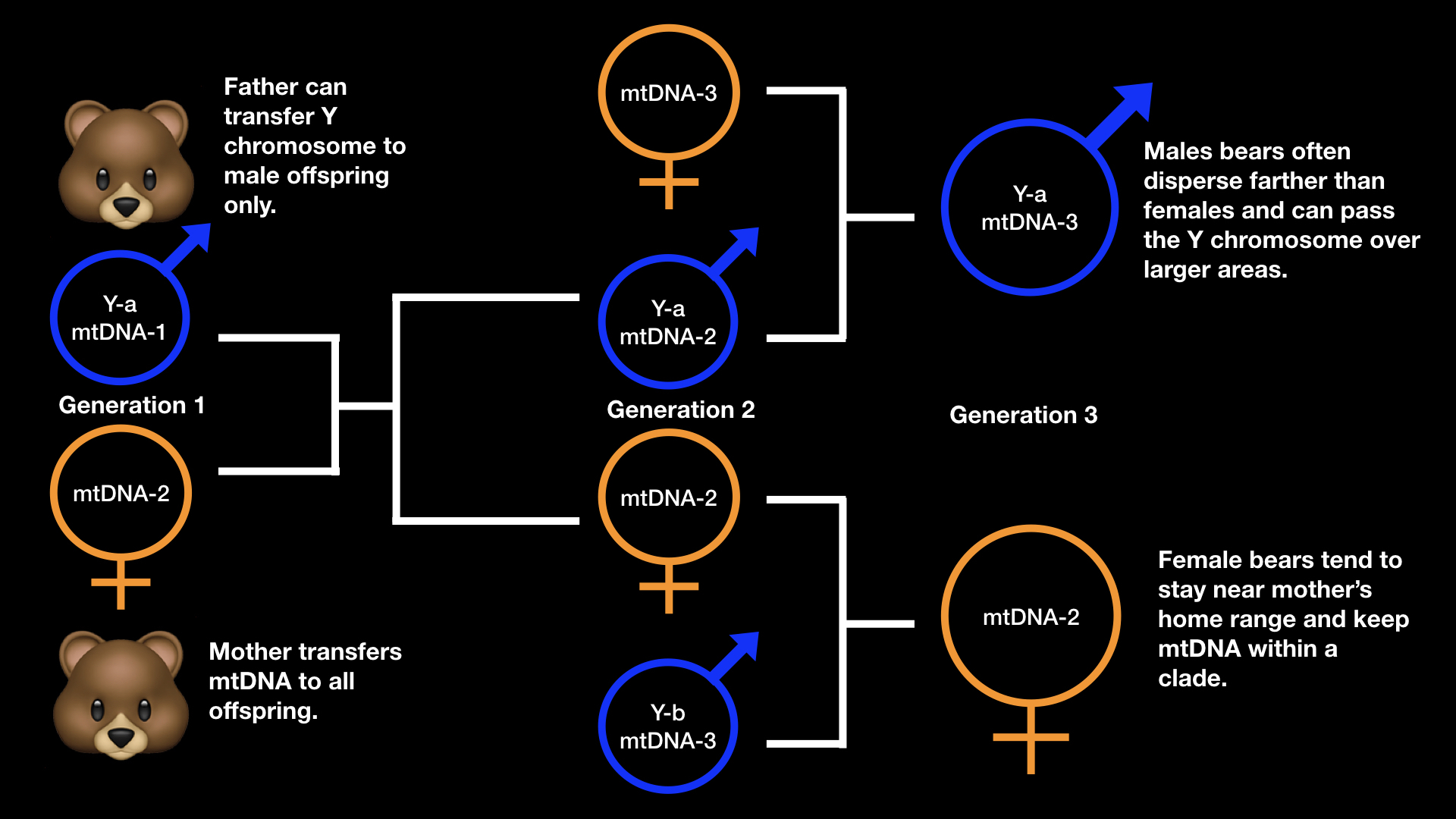 infographic showing hypothetical inheritance of mitochondrial DNA and Y-chromosome through three generations of bears.