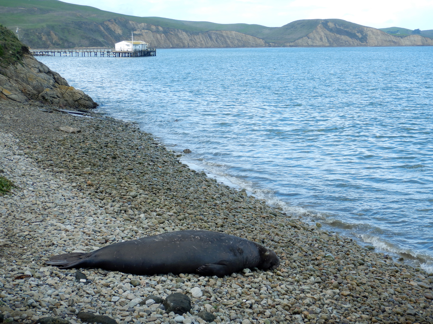 seal resting on cobble beach, dock and boathouse in background