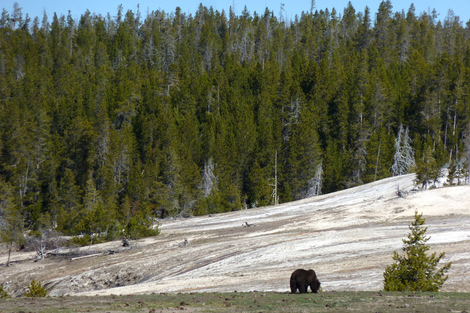 bear grazing on vegetation with travertine and forest in background