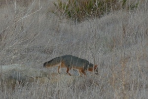 fox walking through dry grass