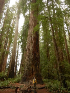 person standing at base of large redwood tree
