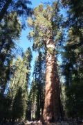 silhouette of very large Sequoia tree