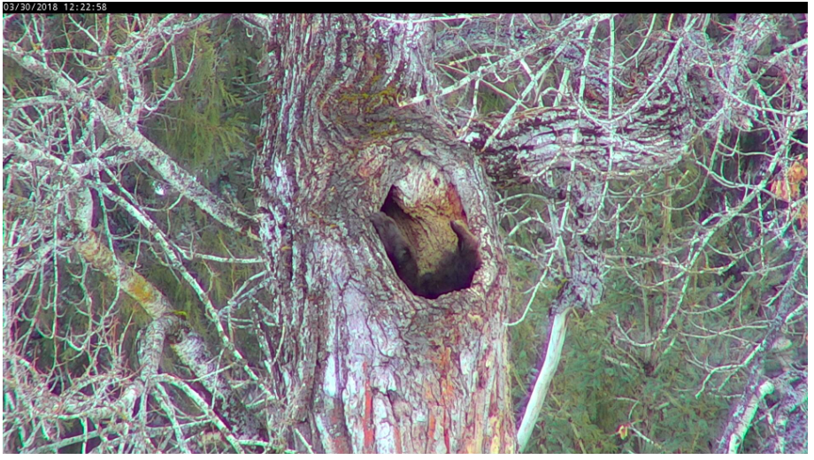 bear feet sticking out of hole in tree trunk