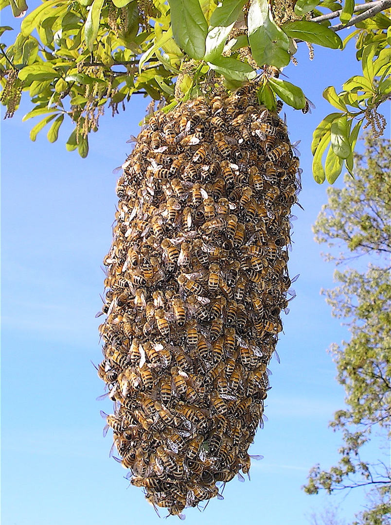 swarm of honeybees clumped together on a tree branch