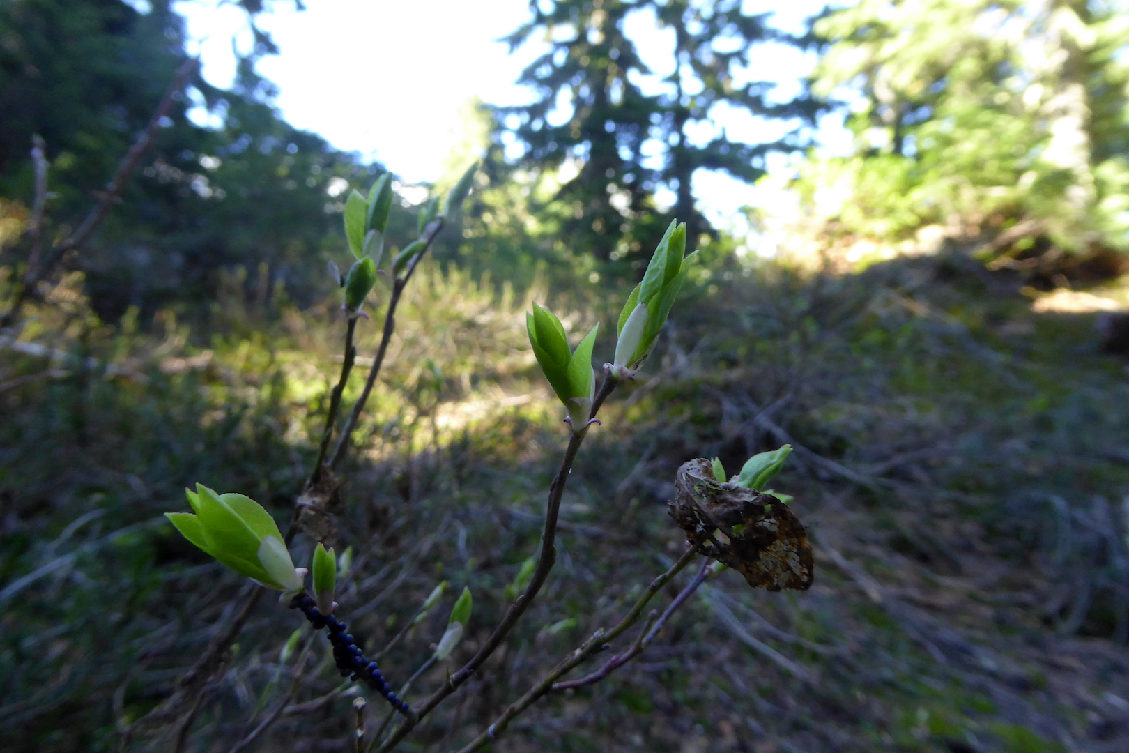 new leaves at the end of small twigs in shaded forest
