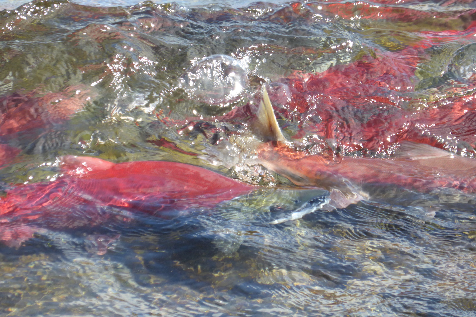red salmon swimming in shallow water