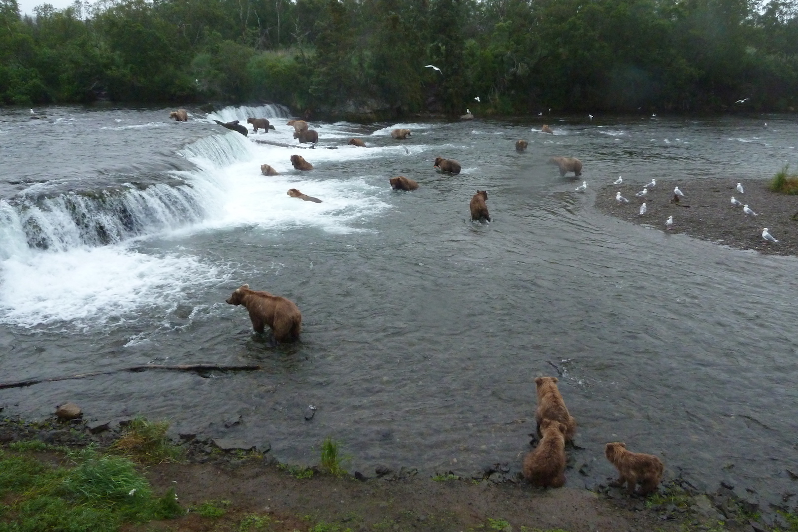 many bears standing and fishing near a waterfall