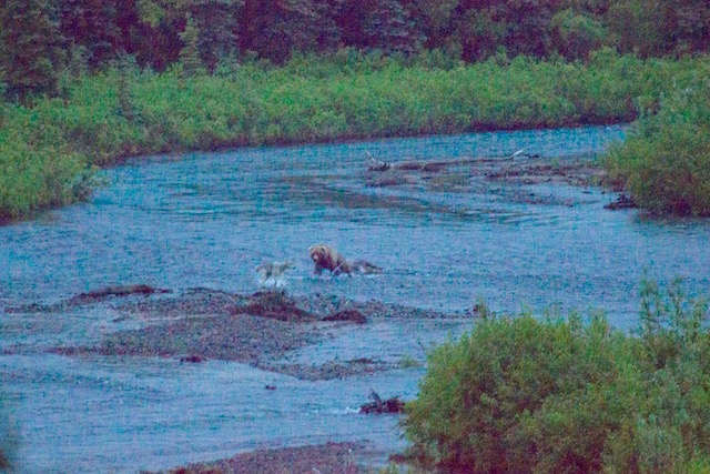 low resolution photo of a bear running at a wolf