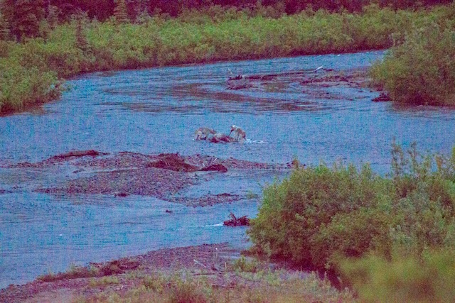 grainy photo of two wolves eating a moose carcass in a creek
