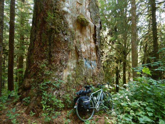 bicycle leaning against bole of large dead tree