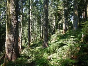 view of high-elevation old-growth forest