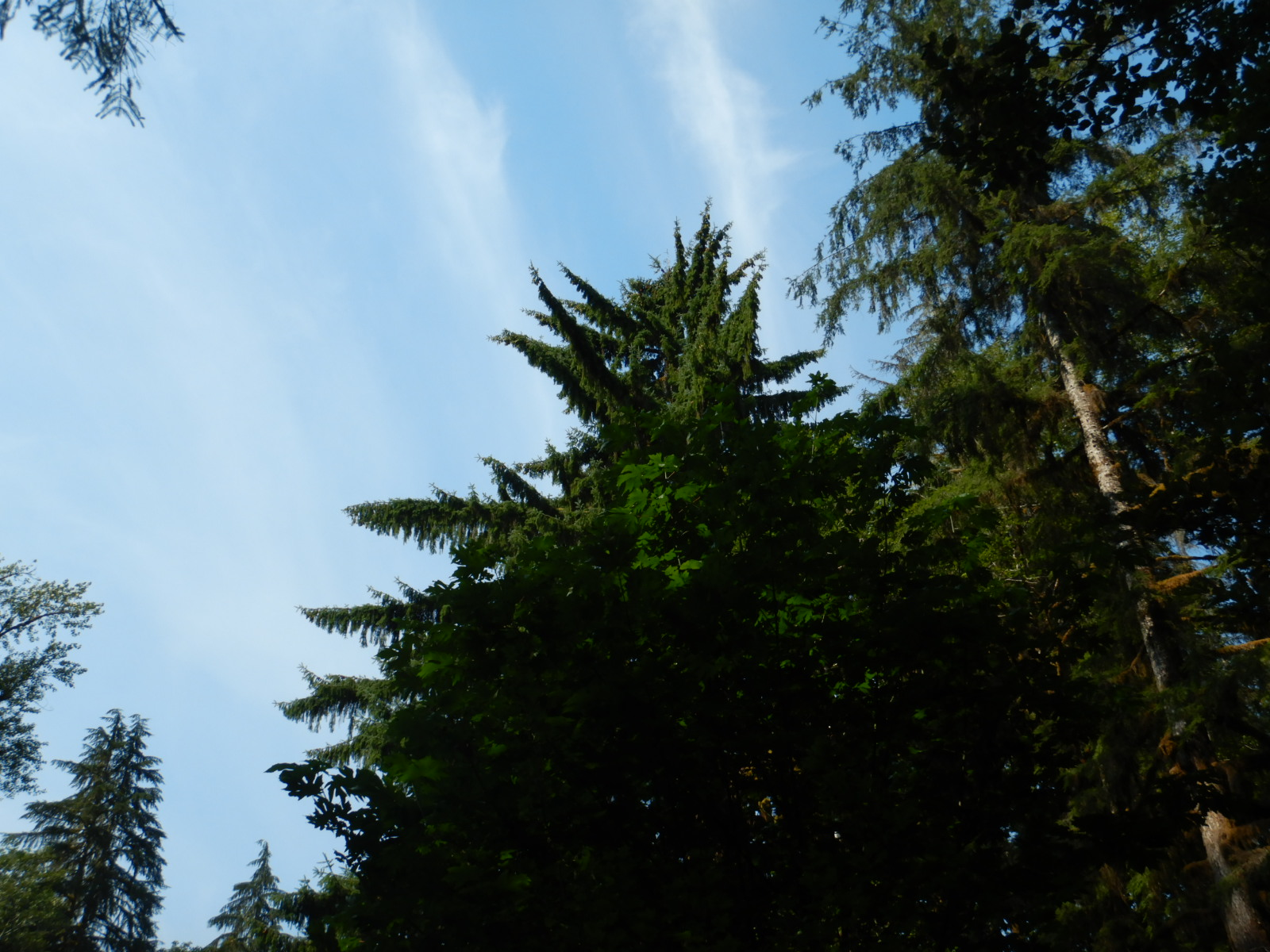 silhouette of Sitka spruce