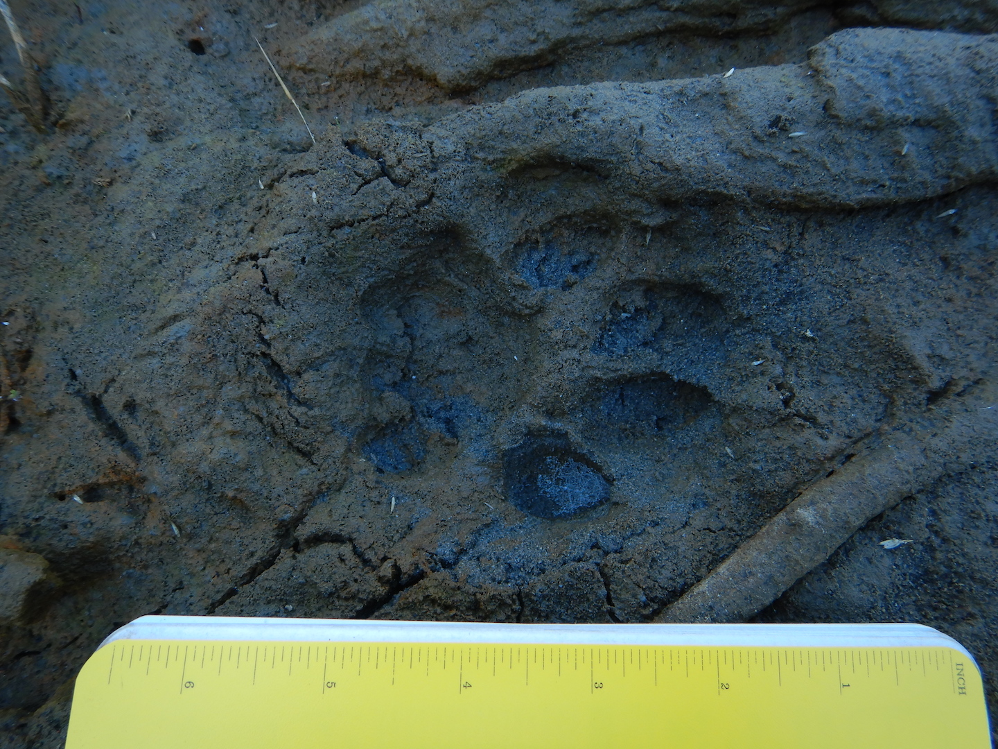 mountain lion track in mud. track point towards right. Notebook is approximately 7 inches wide.
