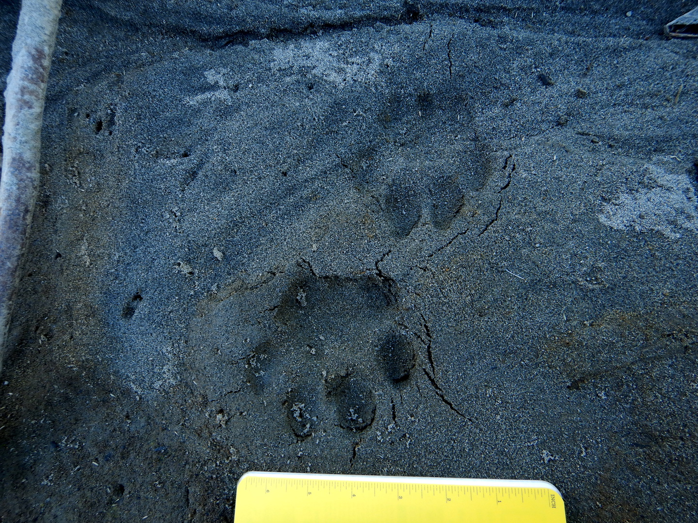 mountain lion tracks in sand. tracks point towards notebook at bottom of photo. Notebook is approximately 7 inches wide.