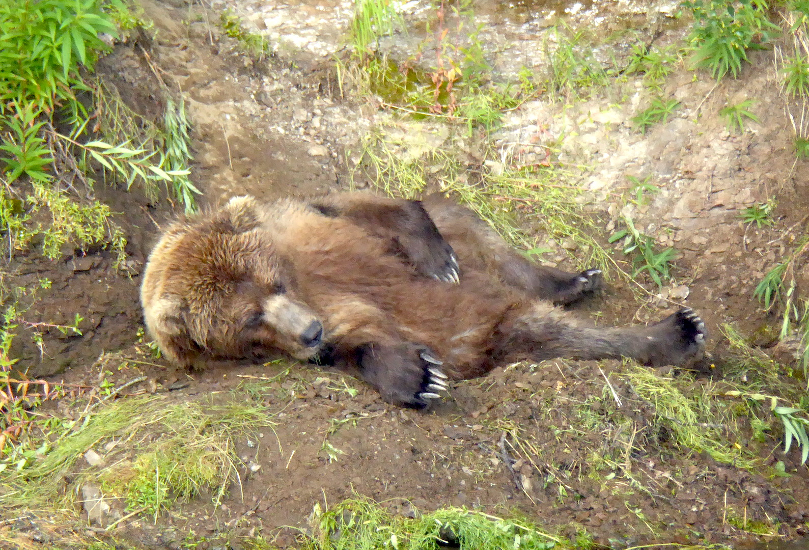 bear lying on ground