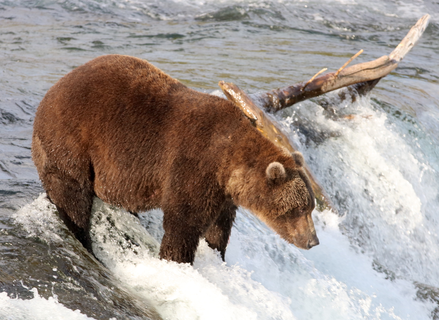 profile of brown bear standing on edge of waterfall