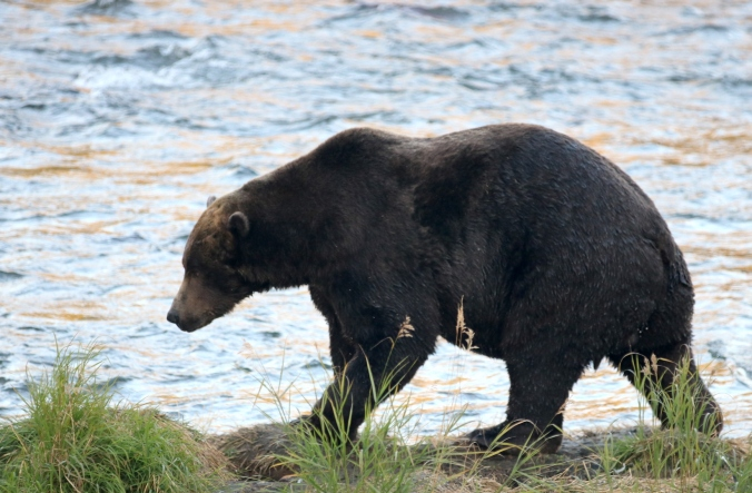 profile of bear walking along edge of river