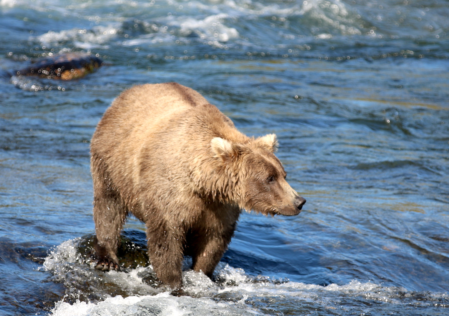 bear with blond ears and blond coat standing in water