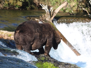 large, fat and dark brown bear standing on rocke