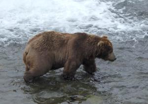large adult male bear walking in water