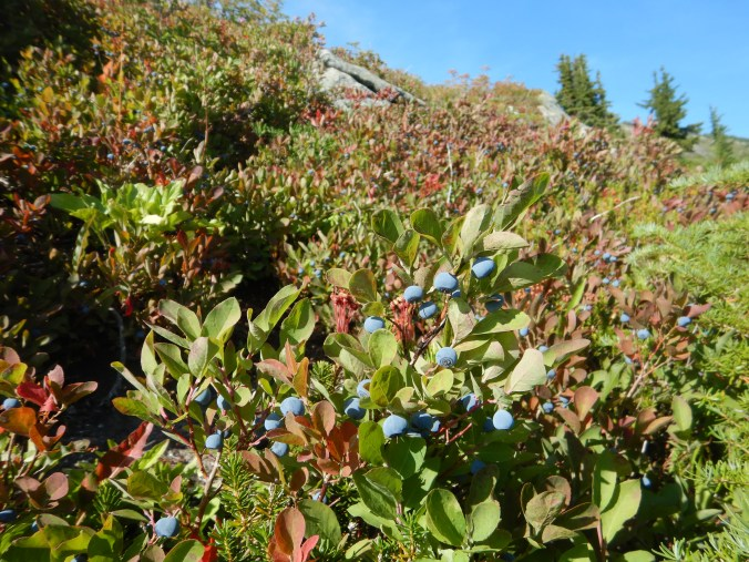 blueberry plants with ripe blueberries