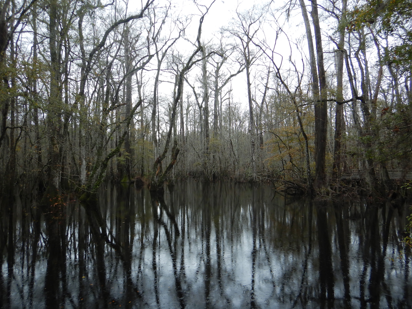 black water swamp in winter with reflections of trees in water