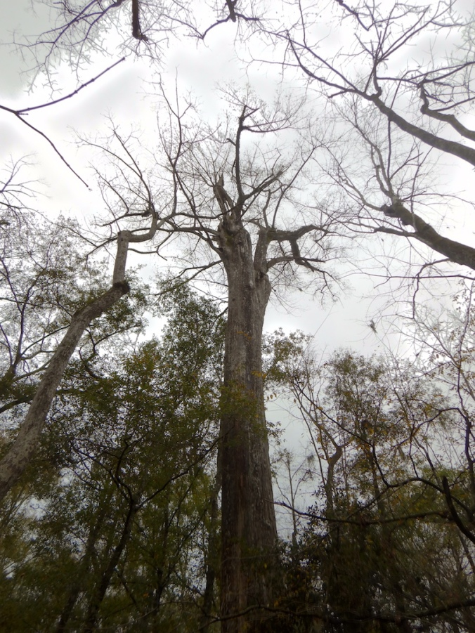 silhouette of large bald cypress tree